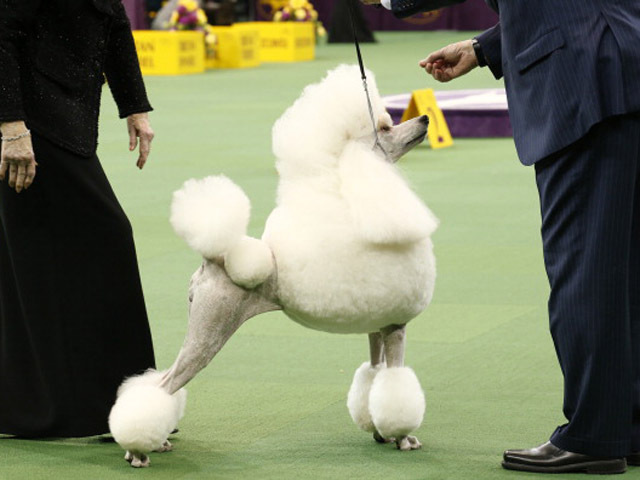 The 137th Westminster Kennel Club Dog Show - 2013